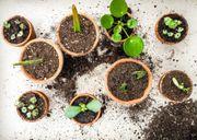 Zimmerpflanzen Ableger