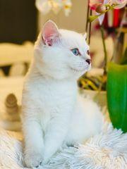 Zuckersüße Britisch-Kurzhaar-Katzenbabys