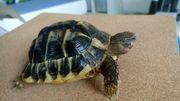 Schildkröten Thh Toskana