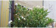 Orleander Weiß
