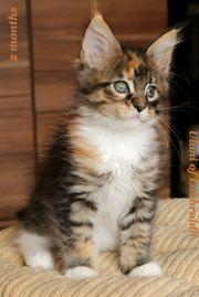 Ulani - süße MaineCoon Katze mit