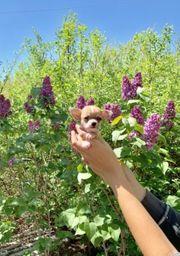 Absolut freundliche Chihuahua Welpen zu