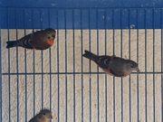 Rot Vögel Prachtfinken Exoten