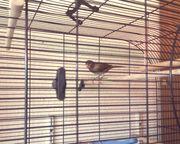 Vergeben Verschenke 2 Kanarienvögel 6