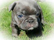 Französische Bulldoggen Welpen blue blau