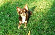 Schöner Chihuahua Rüde Chocolate-Dark-Tan geb