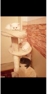 Schottich lang Haare Katzenbaby in