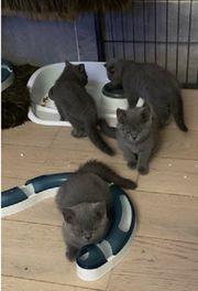 BKH - Kitten - Stammbaum - Abgabebereit