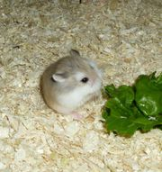 1 Zwerghamster Männchen junger Hamster