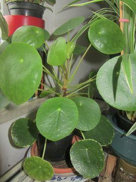 Bild 4 - Ficus Alii Efeutute Fensterpflanze Ufopflanze - München Schwabing-West