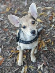 Bezaubernder Chihuahua-Mix Welpe