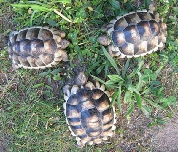 4 Jahre alte Breitrandschildkröten Landschildkröten