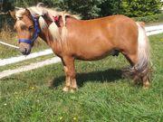 Kinderliebe Shettys Reitponys und Esel