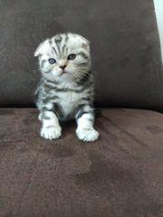 Kitten Scottisch Fold reinrassig