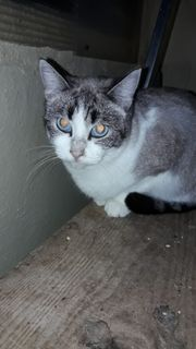 CARY -SIAM-Tabby Quasselstrippe sucht Familie