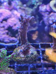 Acropora Formosa Tricolor Valida SPS
