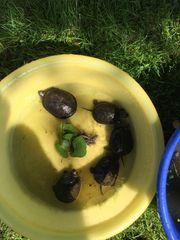 Biete Wasserschildkrötennachzucht von 2018