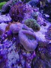 Meerwasser Ableger SPS LPS Trachyphyllia