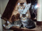 wunderschöne Maine Coon Kätzchen erhältlich