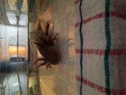 Axolotl zu verkaufen