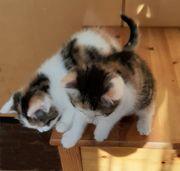 Bildhübsche Kätzchen abzugeben
