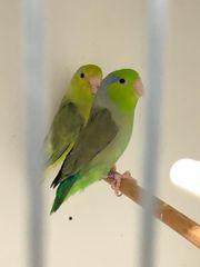 Sperlingspapagei Paar