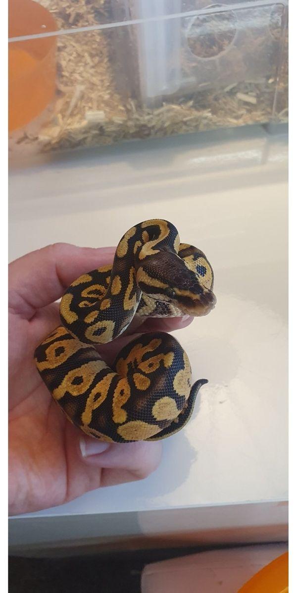 Königspython Pastel Yellowbelly 3 3