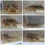 Axolotl Wildlinge 14-16 cm