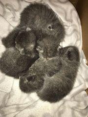 BKH Kitten nur noch 2