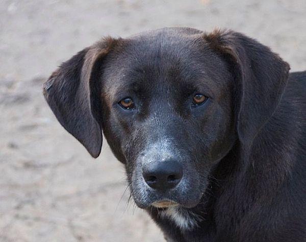 Blacky toller Labrador-Mischling ca 1
