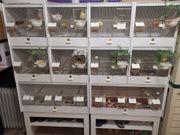 Kanarienvögel mit Zuchtboxen