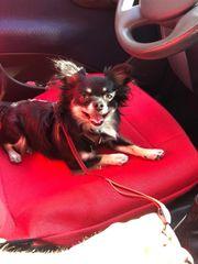Chihuahua Deckrüde Pablo