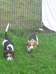 Beaglewelpen suchen neue Familien