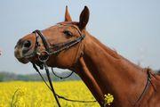 Reitbeteilung in 51515 gesucht Pferd
