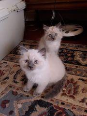 Perser - Siam Kitten suchen ein
