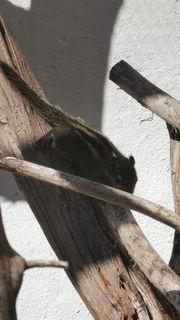 Streifenhörnchen Jungtiere