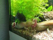 4 Axolotl abzugeben