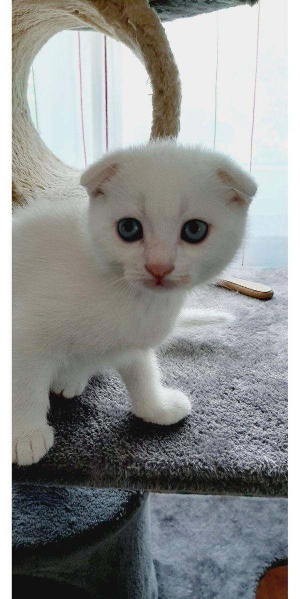 BKH, Scottish Fold Kitten