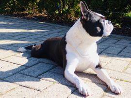 Bild 4 - Deckrüde Boston Terrier - Coesfeld