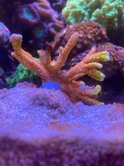 div Korallenableger SPS LPS Acropora