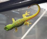 Junge Phelsuma grandis- Madagaskar Taggeckos
