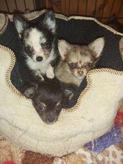 4 LH Chihuahua Welpen abzugeben