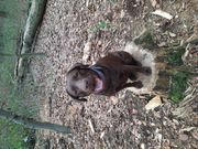 Ich suche einen Labrador Deckrüden