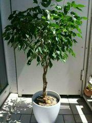 Deko Ficus Benjamin Birkenfeige Zimmerpflanze