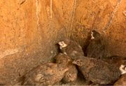 Celadon Wachteln 6 Wochen alt
