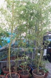 Bambus Phyllostachis für Heckenpflanzung Herbstzeit