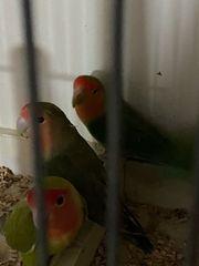Rosenköpfchen Agaporniden klein Papagei