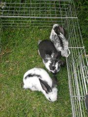 verkaufe junge Kaninchen