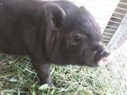 Minischweinferkel