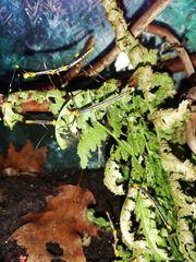 Peruanische Farn-Stabschrecke lat Oreophoetes peruana